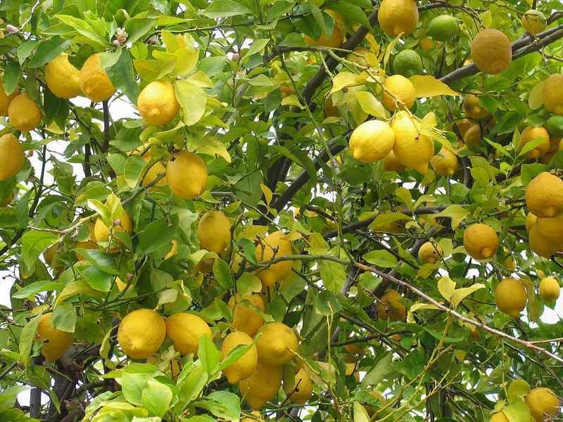 citrón pestovanie