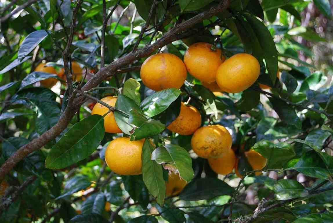Grapefruit pestovanie