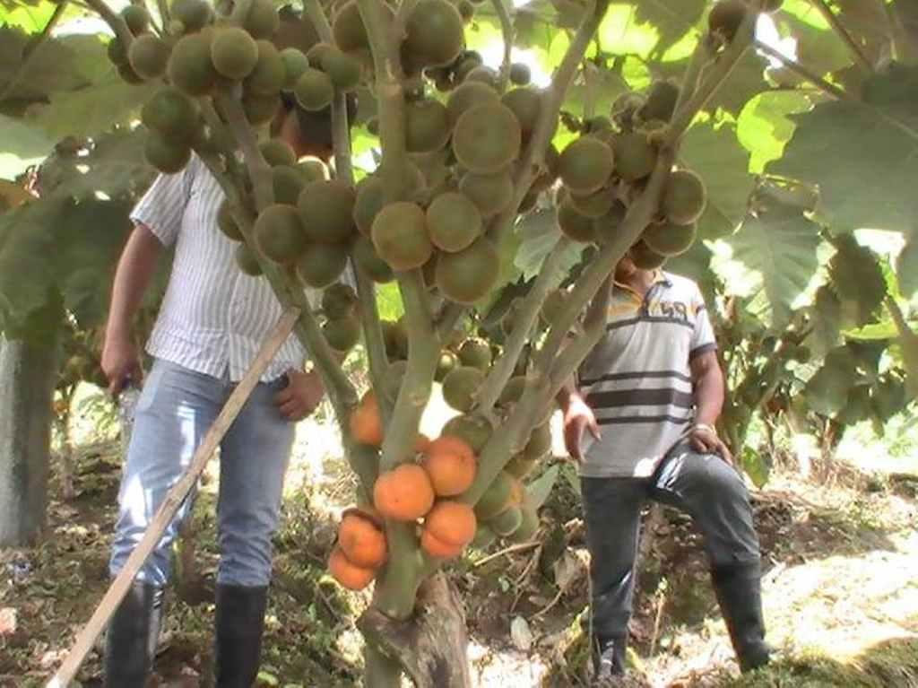narančila pestovanie