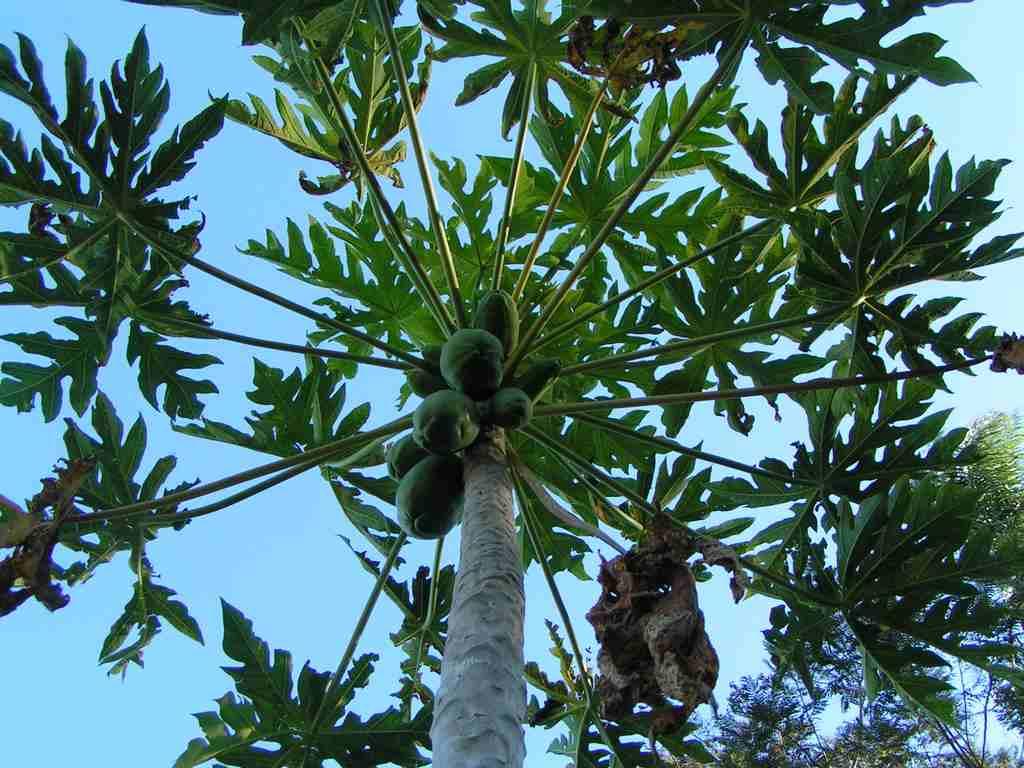 papája pestovanie
