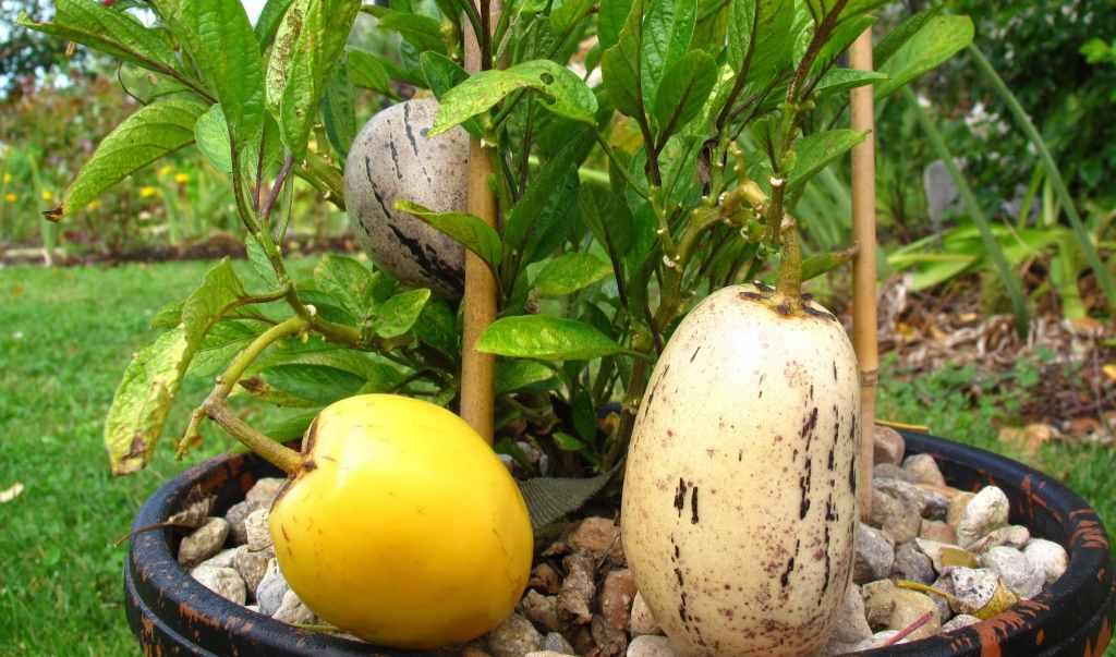 pepino pestovanie