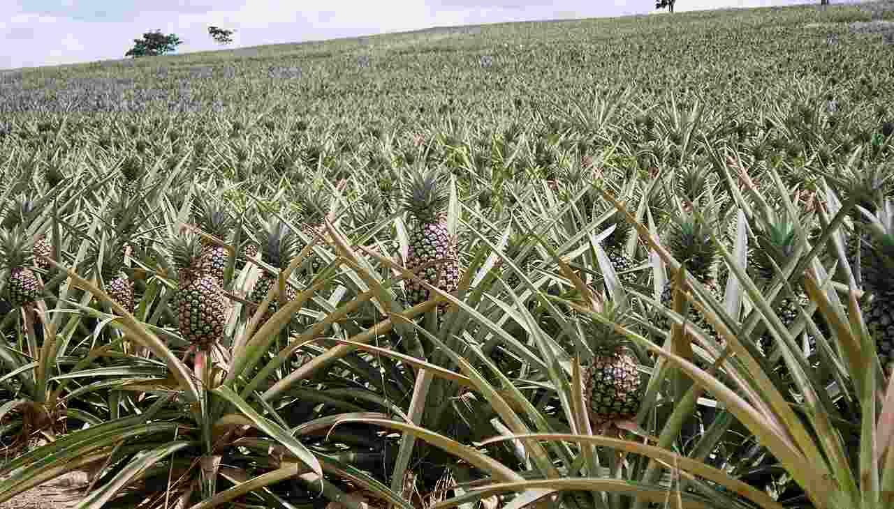ananás pestovanie