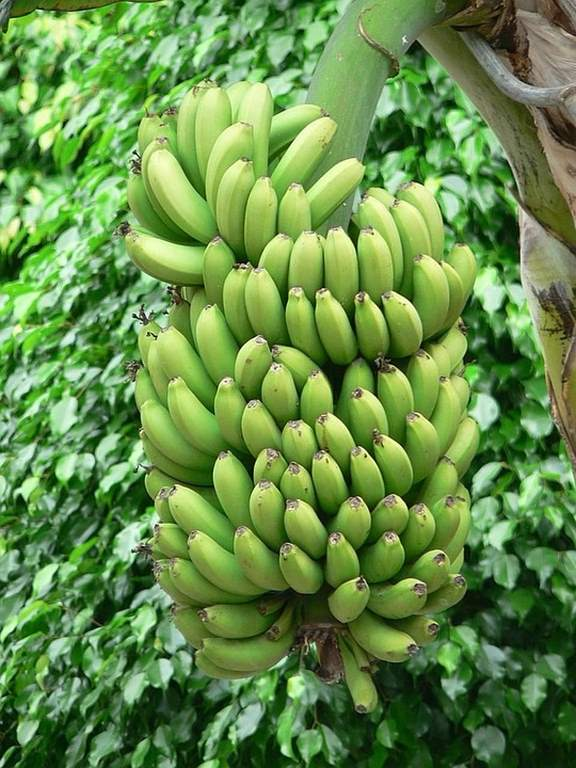 banán pestovanie