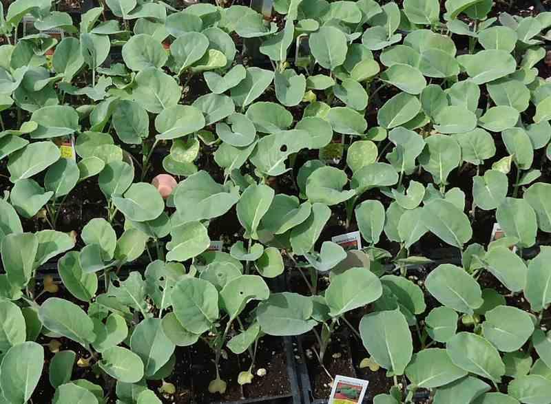 brokolica pestovanie