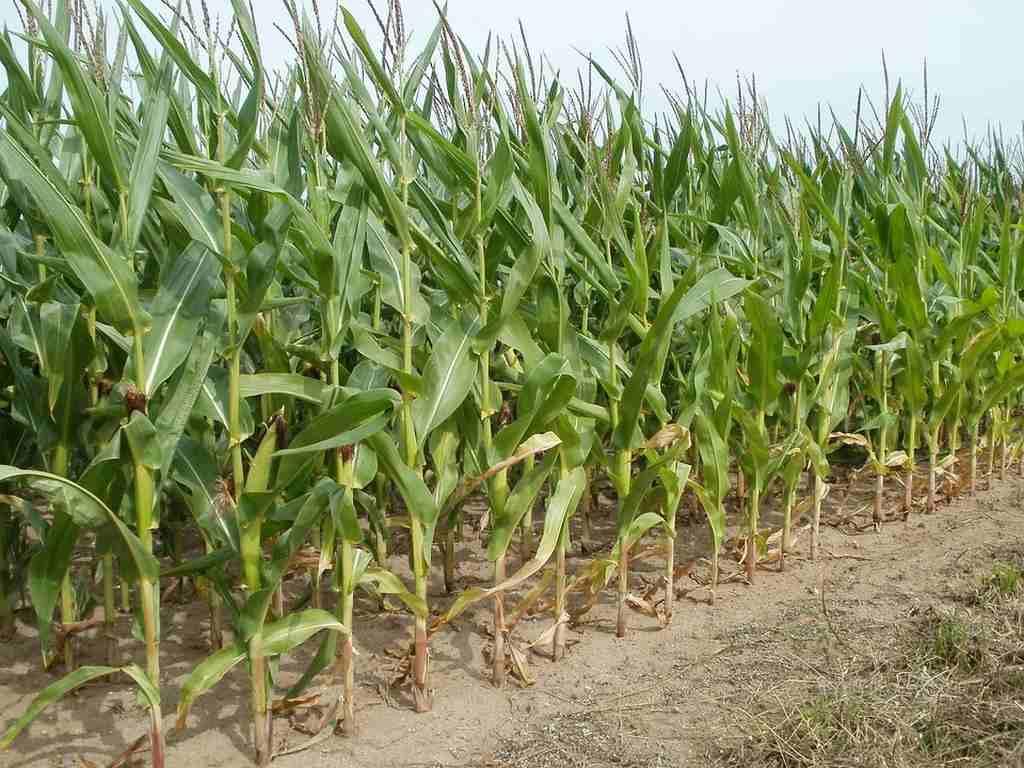 kukurica pestovanie
