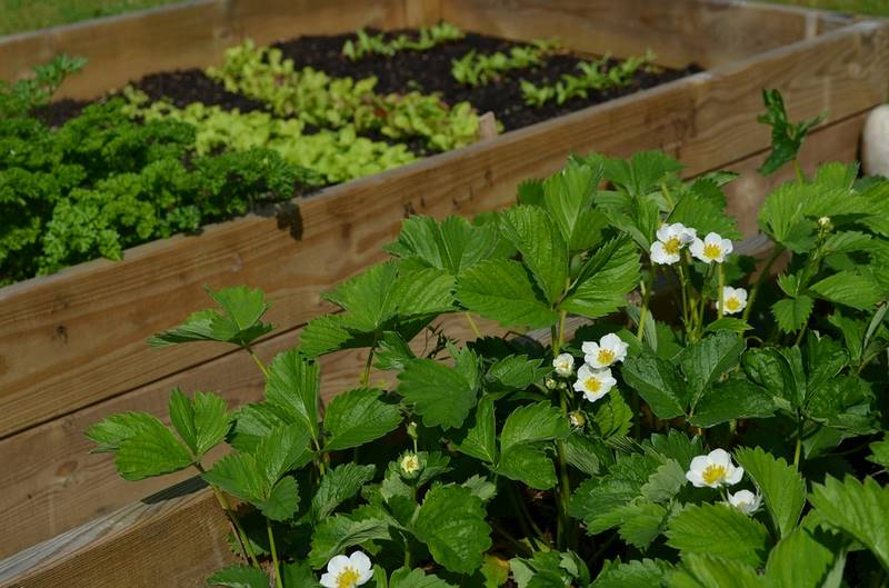 jahody pestovanie
