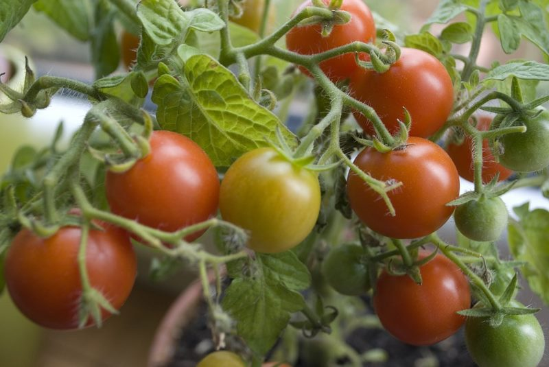 paradajky pestovanie